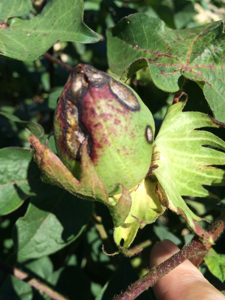 Boll rot associated with bacterial blight.