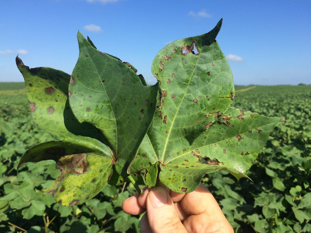 Symptoms of bacterial blight (right) compared with target spot (left).