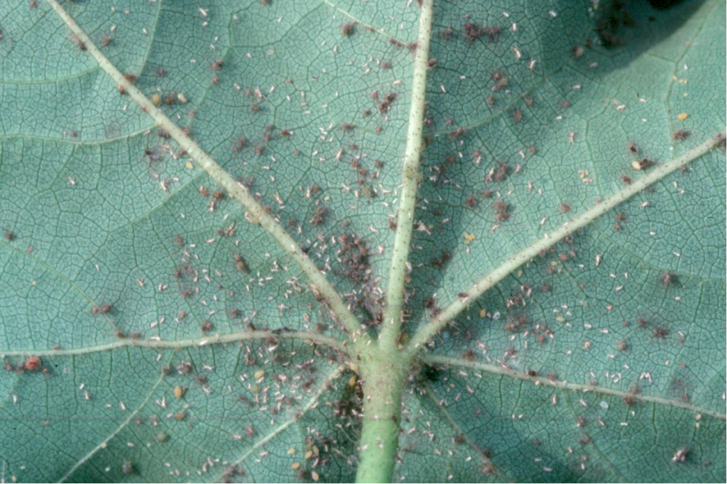 aphid fungus 3