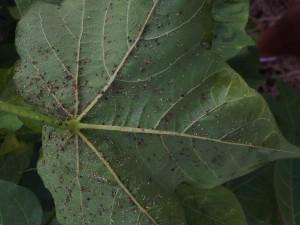 aphid fungus by steve bullard c