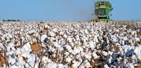 cottonharvest-476